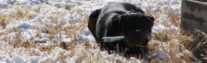Train Your Rottweiler Choosing an Adult Dog