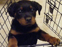 Rottweiler First Night Crate Training