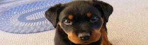 Train Your Rottweiler Puppy Classes