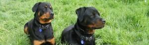 Train Your Rottweiler Rottweiler Appearance