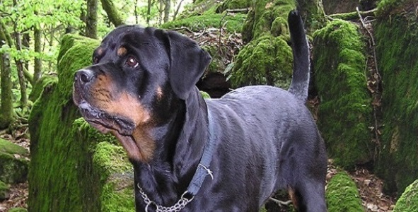 Train Your Rottweiler What's in That Black and Tan Body 2