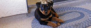 Train Your Rottweiler Choosing a Puppy