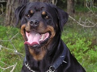 Train your Rottweiler: do not overdo it