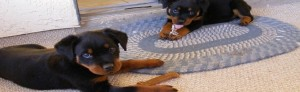 Train Your Rottweiler Puppy Proofing Your Home