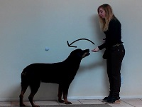 Training Your Rottweiler to Sit