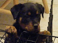 Using Crates for Rottweiler